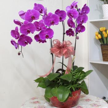 3株蝴蝶兰:财源广进