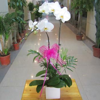 2株白色蝴蝶兰:幸福一对