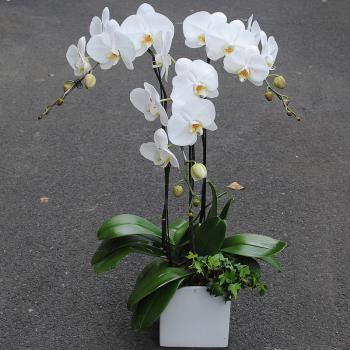 3株白色蝴蝶兰